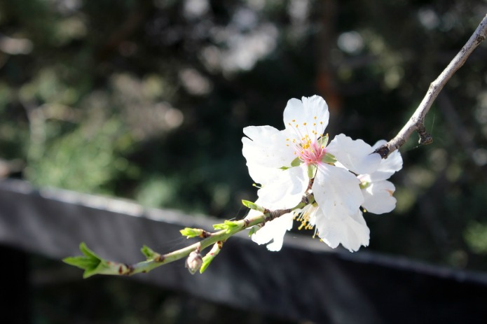 almendros en flor madrid